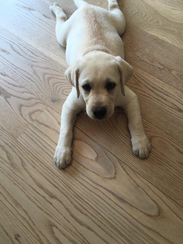 Szczeniak Labrador