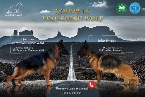 Szczenięta owczarek niemiecki długowłosy psy i suki
